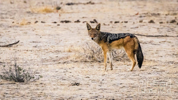 Photograph - Black Backed Jackal, Namibia by Lyl Dil Creations