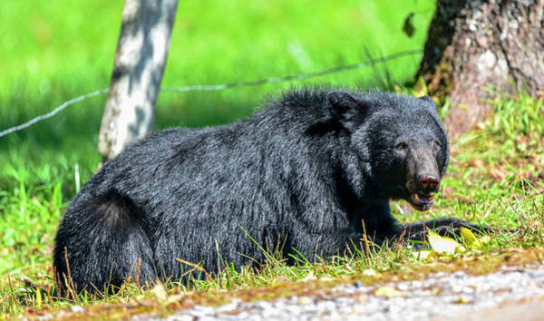 Photograph - Black Bear by Bill Hosford