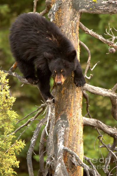 Photograph - Black Bear Climbing A Tree by Adam Jewell