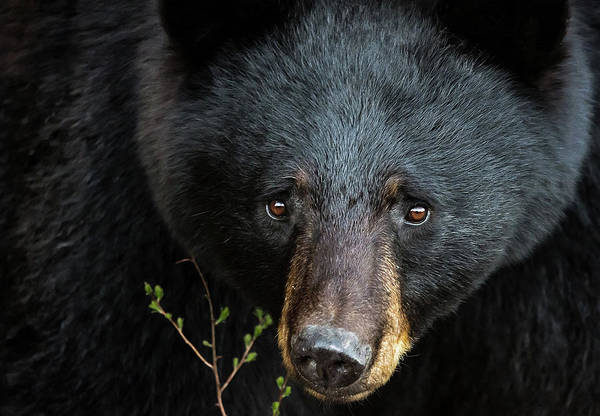 Photograph - Black Bear Close Up by Tracy Munson