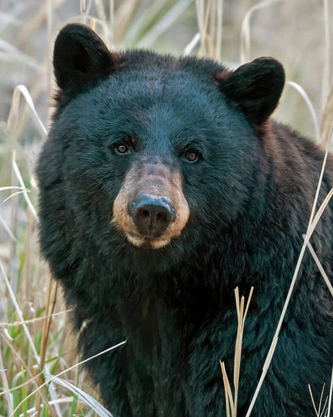 Montana Photograph - Black Bear Closeup by Gary Langley
