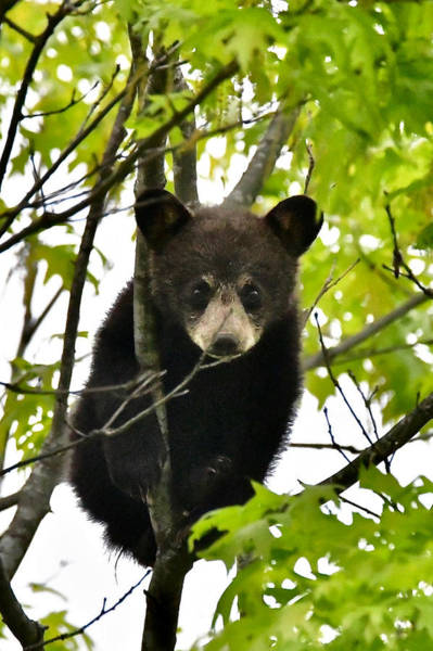 Wall Art - Photograph - Black Bear Cub 3776 by Michael Peychich