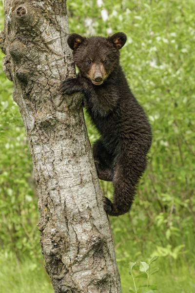 Wall Art - Photograph - Black Bear Cub In Tree, Ursus by Adam Jones