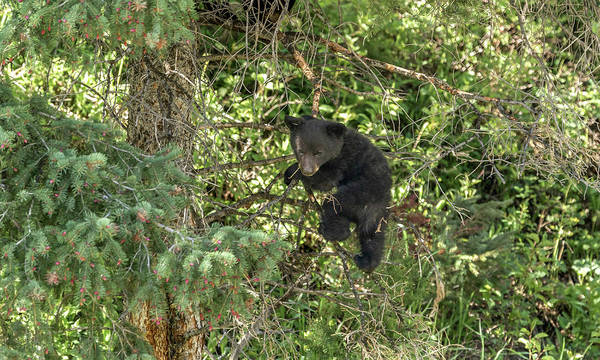 Photograph - Black Bear Cub by Ronnie and Frances Howard