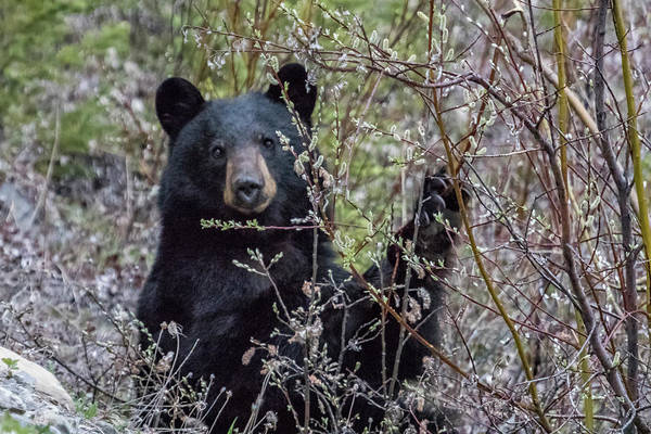 Photograph - Black Bear Dining On Flora, No. 1 by Belinda Greb