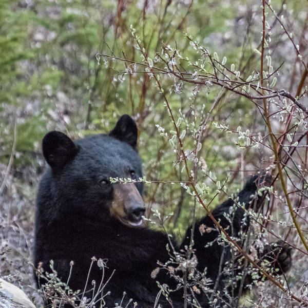 Photograph - Black Bear Dining On Flora, No. 2 by Belinda Greb