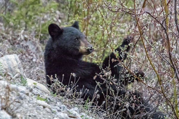Photograph - Black Bear Dining On Flora, No. 3 by Belinda Greb