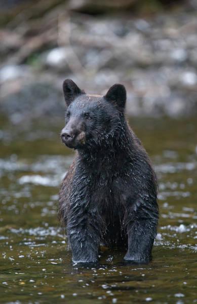 Born In The Usa Photograph - Black Bear In Salmon Stream, Alaska by Paul Souders