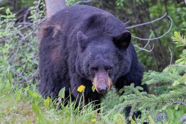 Photograph - Black Bear by Paul Schultz