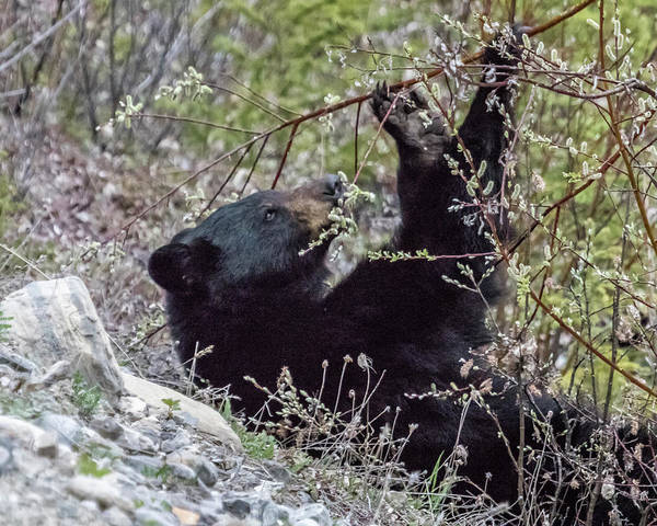 Photograph - Black Bear Relaxing While Eating Flora by Belinda Greb