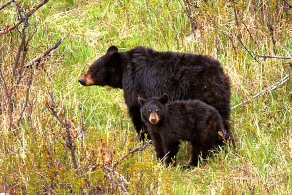 Photograph - Black Bear Sow With Junior by Adam Jewell