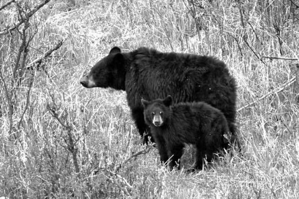 Photograph - Black Bear Sow With Junior Black And White by Adam Jewell