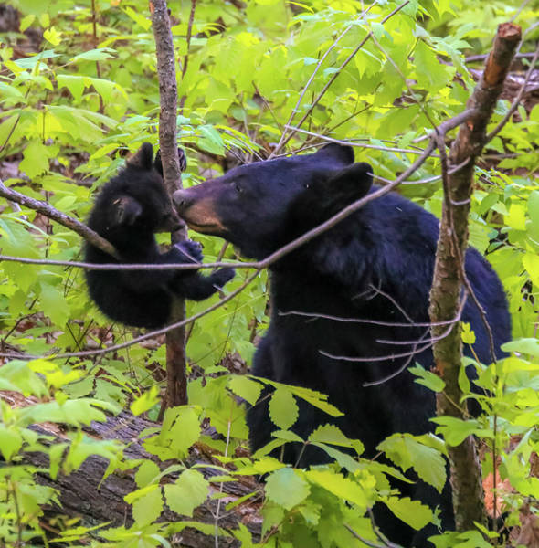 Photograph - Black Bear Touching Moment by Dan Sproul
