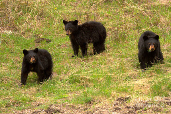 Photograph - Black Bear Triplets Out For A Stroll by Adam Jewell
