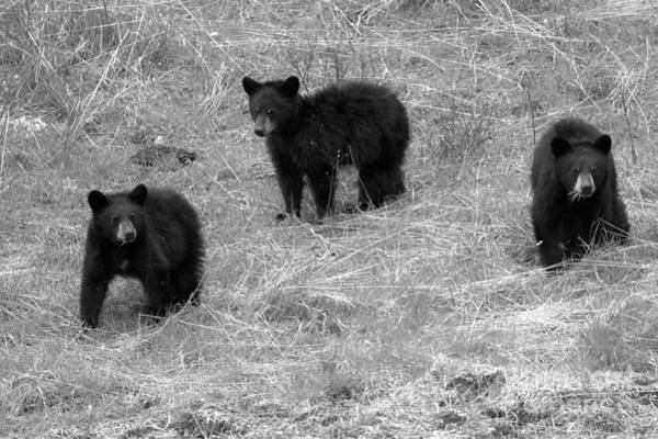 Photograph - Black Bear Triplets Out For A Stroll Black And White by Adam Jewell