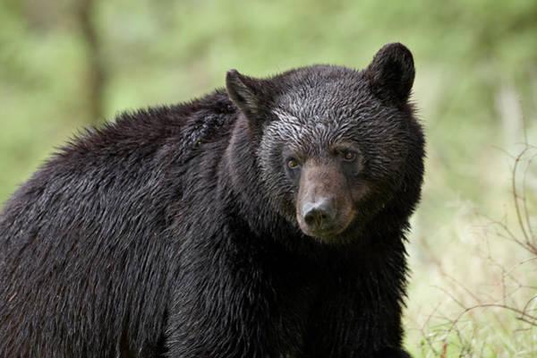 Born In The Usa Photograph - Black Bear Ursus Americanus by James Hager / Robertharding