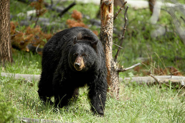 Born In The Usa Photograph - Black Bear Ursus Americanus Sow by James Hager / Robertharding