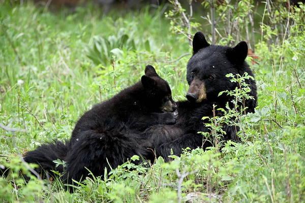 Born In The Usa Photograph - Black Bear Ursus Americanus Sow Nursing by James Hager / Robertharding