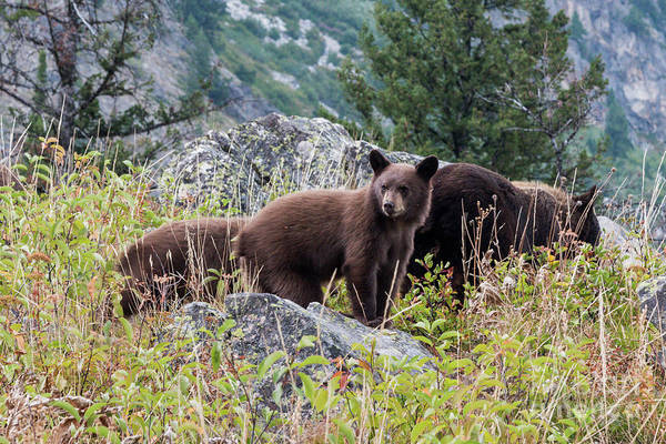 Photograph - Bears 3 by Paul Quinn
