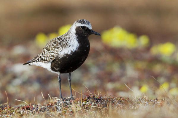 Wall Art - Photograph - Black-bellied Plover, Arctic Tundra by Ken Archer