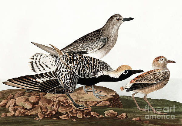 Wall Art - Painting - Black Bellied Plover, Charadrius Helveticus By Audubon by John James Audubon