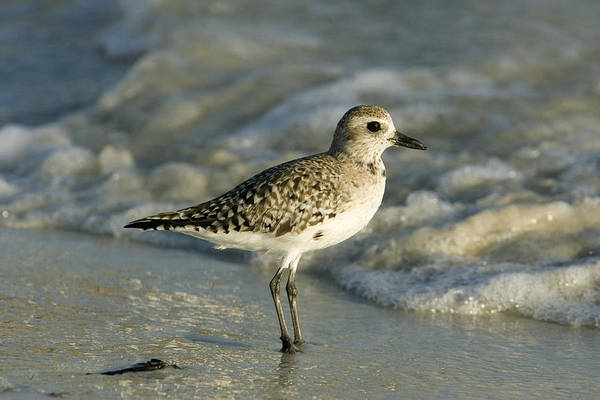 Wall Art - Photograph - Black-bellied Plover by David Hosking