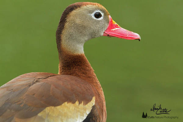 Photograph - Black-bellied Whistling Duck by David Cutts