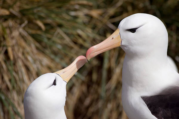 Wall Art - Photograph - Black-browed Albatrosses by David Hosking