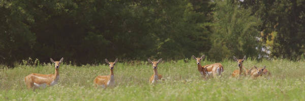 Photograph - Black Buck Doe In A Row by Amanda Smith