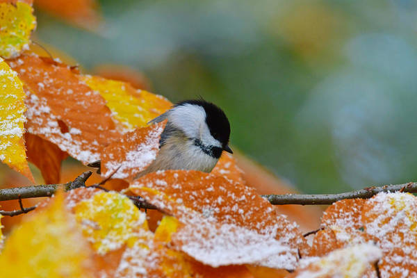 Wall Art - Photograph - Black Capped Chickadee 8886 by Michael Peychich
