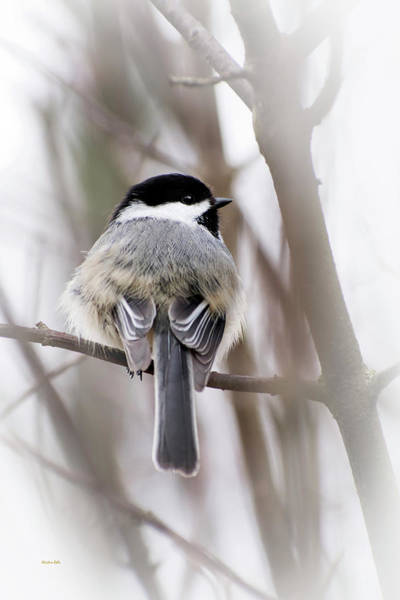 Photograph - Black Capped Chickadee by Christina Rollo