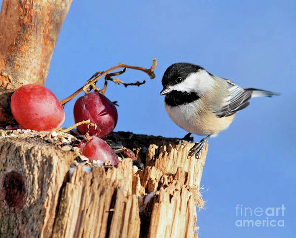 Photograph - Black-capped Chickadee by Debbie Stahre