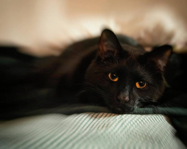 Photograph - Black Cat - Gold Eyes by Joann Vitali