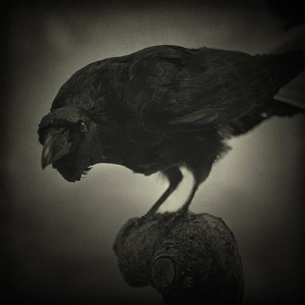Rook Photograph - Black Crow by Louise Legresley