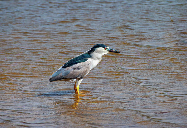 Photograph - Black Crowned Heron by Anthony Jones
