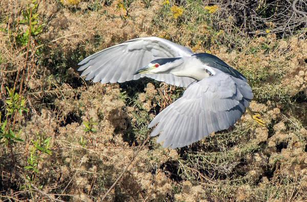 Photograph - Black-crowned Night Heron 1468-111918-1cr by Tam Ryan