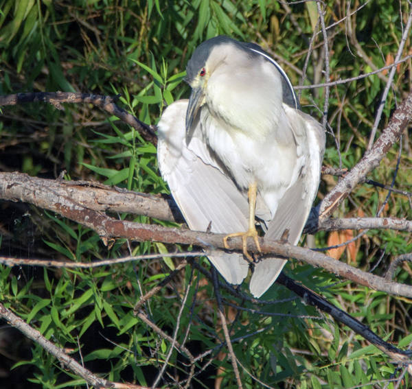 Photograph - Black-crowned Night Heron 4419-080119 by Tam Ryan