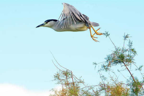Photograph - Black-crowned Night Heron 5548-121618-1 by Tam Ryan