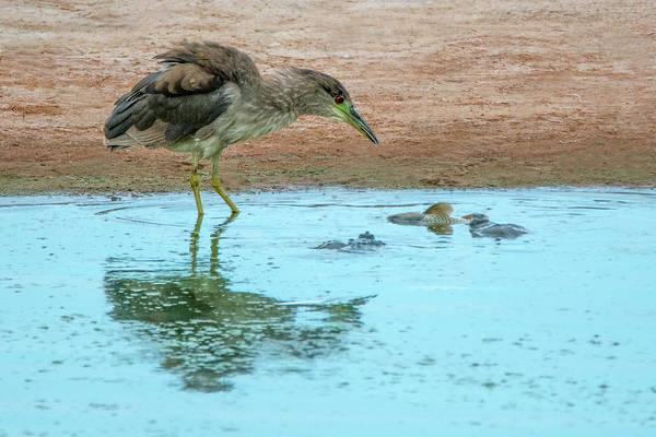 Photograph - Black-crowned Night Heron 6410-061319 by Tam Ryan