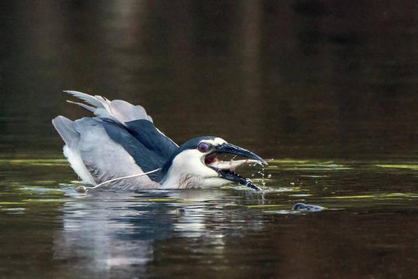 Photograph - Black-crowned Night Heron 7830-061719 by Tam Ryan