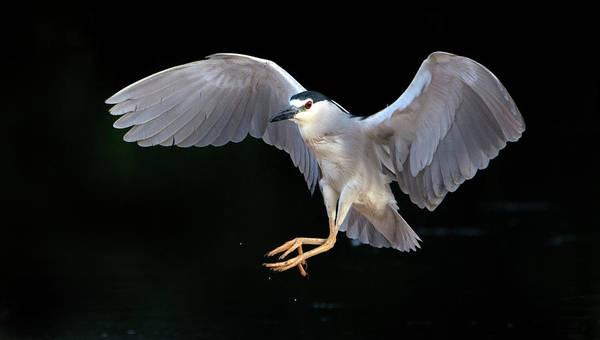 Photograph - Black-crowned Night Heron 7939-061719 by Tam Ryan