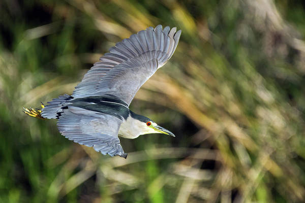Photograph - Black-crowned Night Heron 9031-122918-1 by Tam Ryan