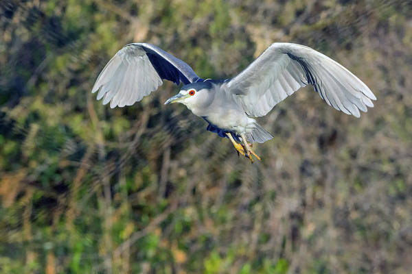 Photograph - Black-crowned Night Heron 9216-123018-1 by Tam Ryan