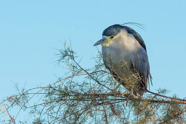 Photograph - Black-crowned Night Heron 9575-010218-1 by Tam Ryan