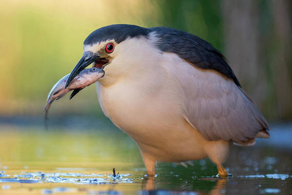 Photograph - Black-crowned Night Heron And Fish by Thomas Hinsche