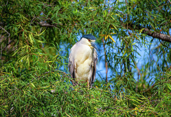 Photograph - Black Crowned Night Heron by Anthony Jones