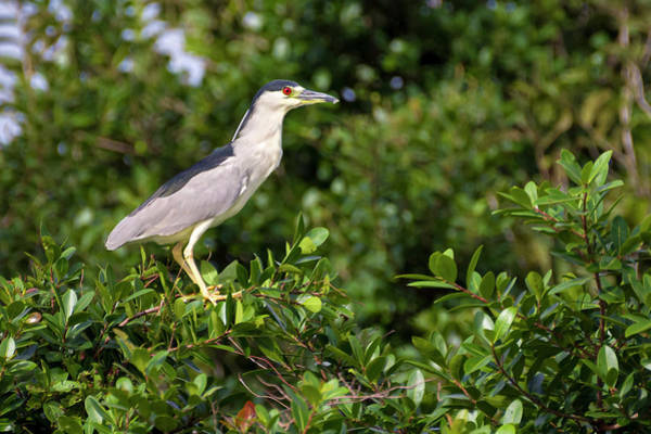 Photograph - Black Crowned Night Heron Hato Barley Tauramena Casanare Colombi by Adam Rainoff