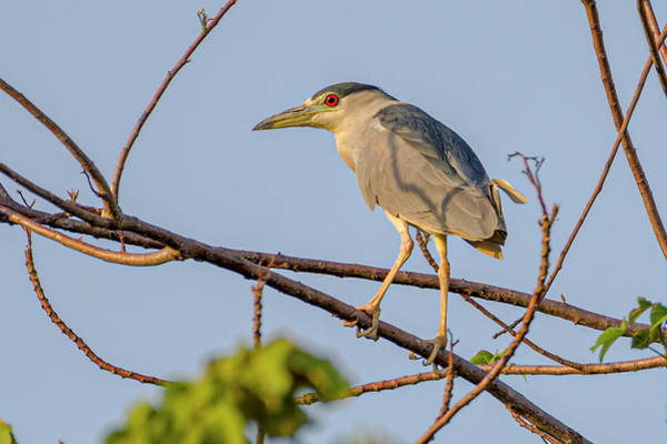 Photograph - Black Crowned Night Heron Hato Berlin Casanare Colombia by Adam Rainoff