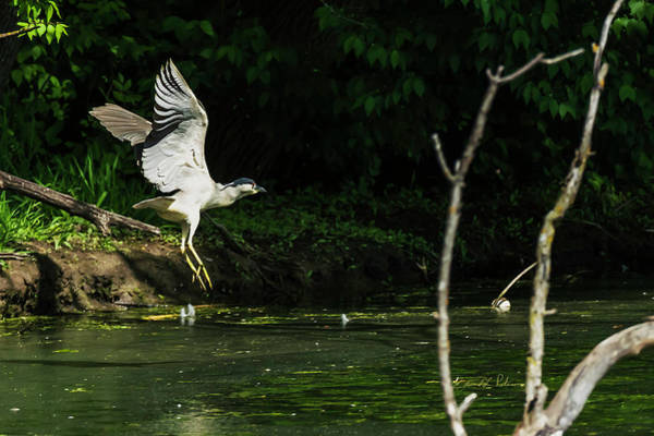 Photograph - Black-crowned Night Heron In Flight by Edward Peterson