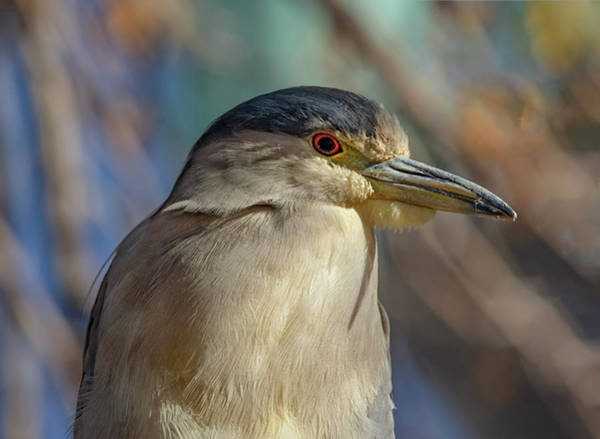 Photograph - Black Crowned Night Heron Male by Rick Mosher